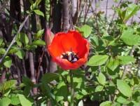 1st tulip-1.jpg